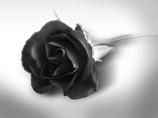 COOL IMAGES  black rose wallpaper