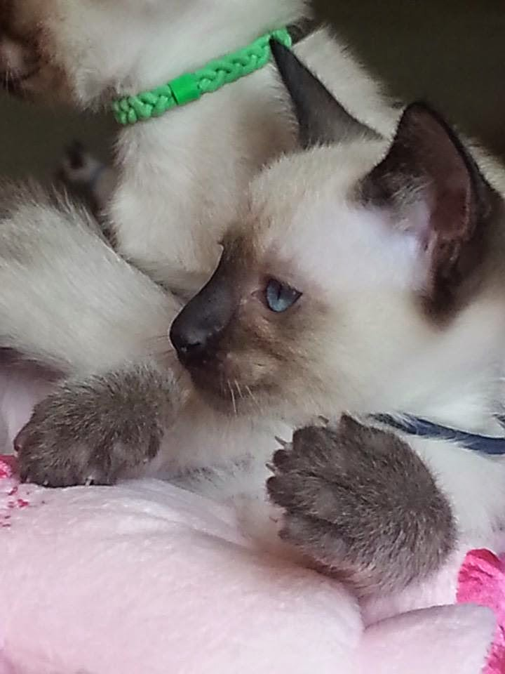 Little Seal Point Siamese boy