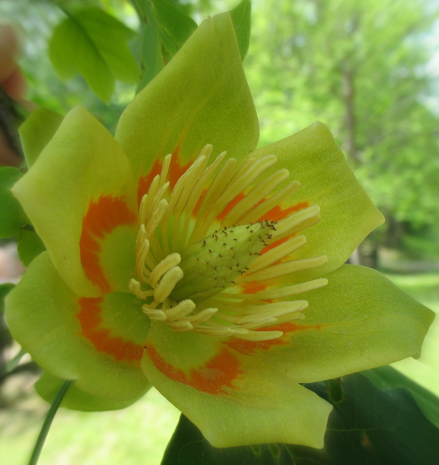 Using georgia native plants is it a tulip or a tree mightylinksfo