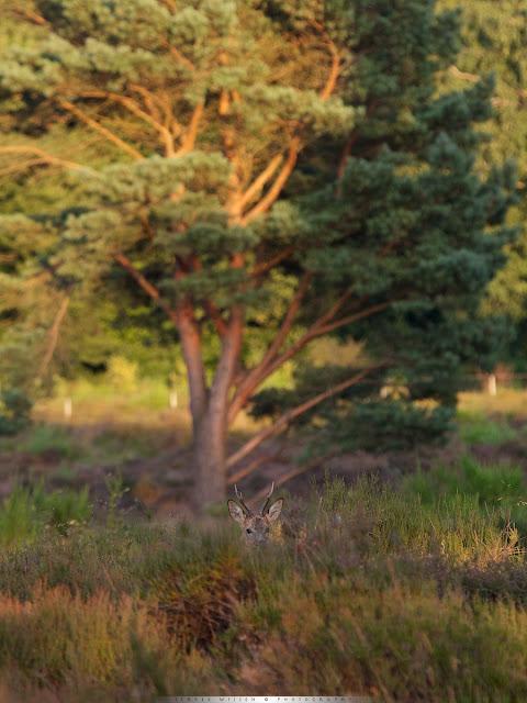 Reebok op de Hei - Roe buck in Heathland - Capreolus capreolus