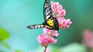 Tahukah Anda Fakta si Kupu-kupu Cantik Ini?