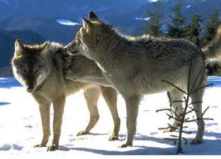 Lobos comunicándose