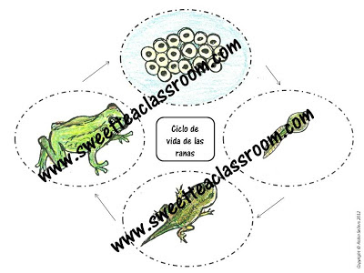 life cycle of a frog Spanish