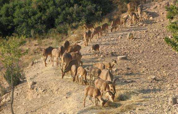 Especies invasoras, el arruí o muflón del atlas