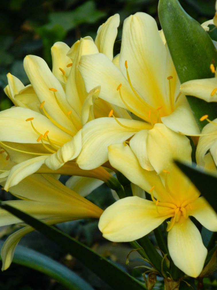 Yellow clivia minuata Centennial Park Conservatory 2015 Spring Flower Show by garden muses-not another Toronto gardening blog