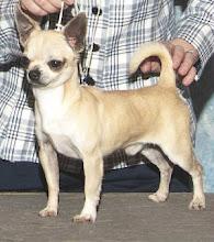 My Chihuahua Boy