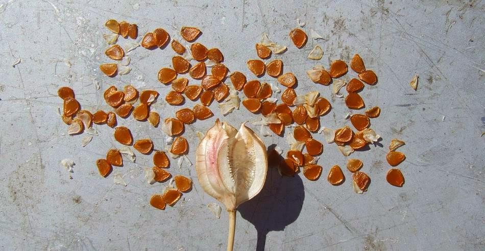 Как вырастит тюльпаны из семян в домашних