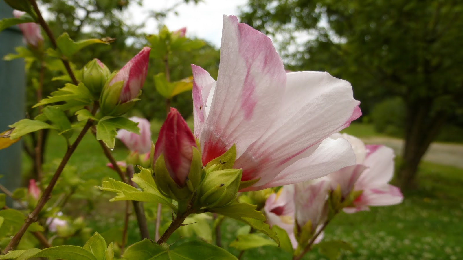 mon jardin entre terre et mer: UN HIBISCUS POUR MA FILLE