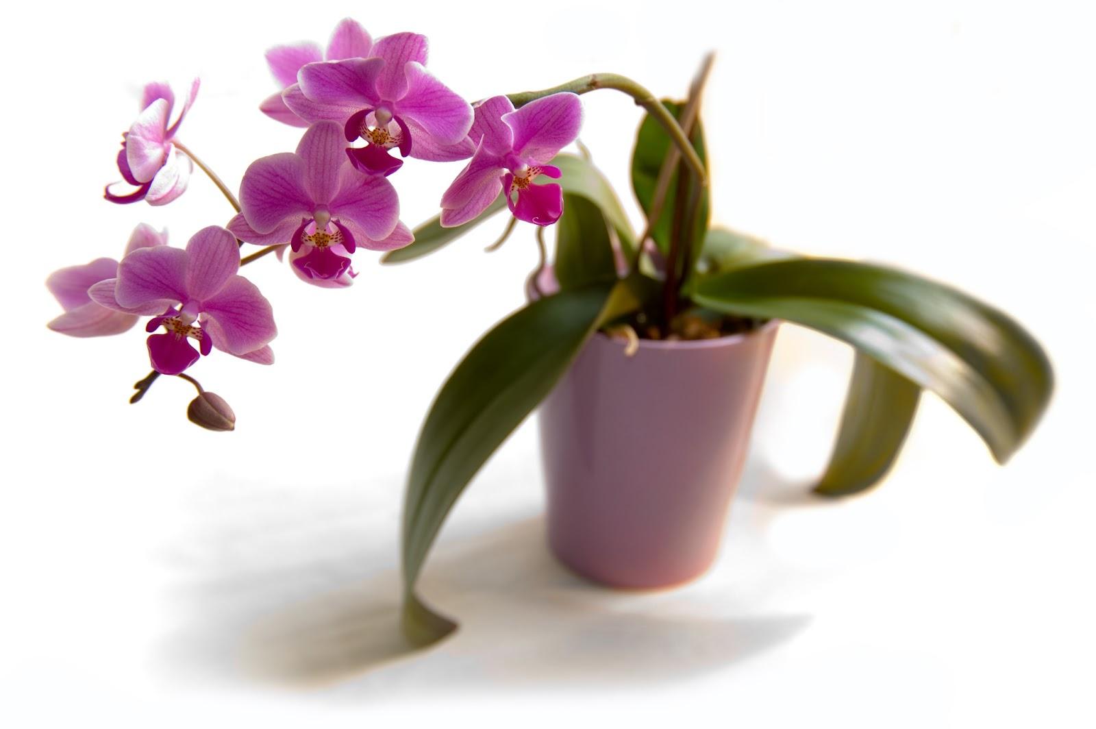 Как правильно ухаживать за фаленопсис орхидеями в домашних условиях 708