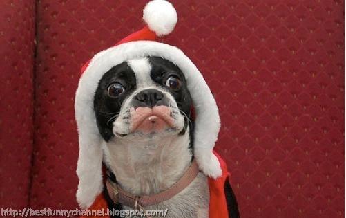 Very funny Christmas dog.