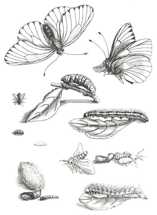 Ciclo de vida de la mariposa para colorear - Imagui