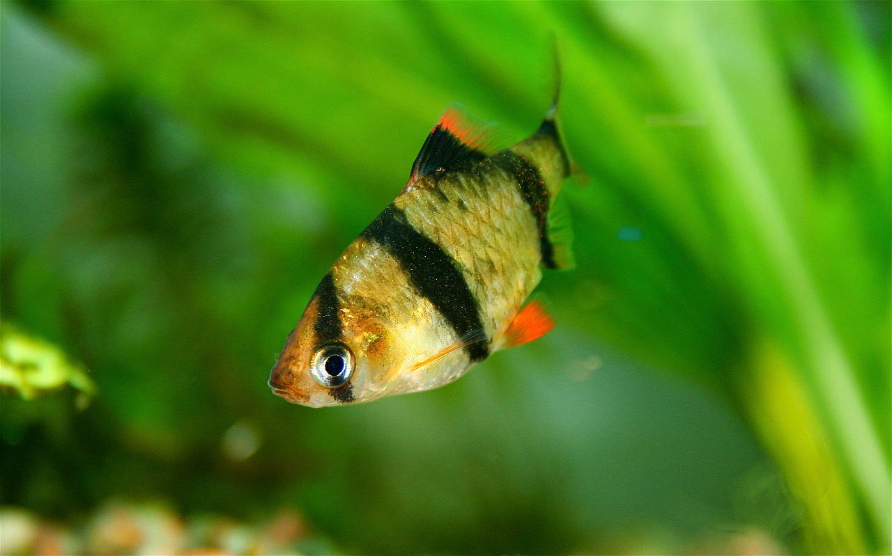Freshwater Frenzy: Tiger Barbs: Stop the Nipping Now!