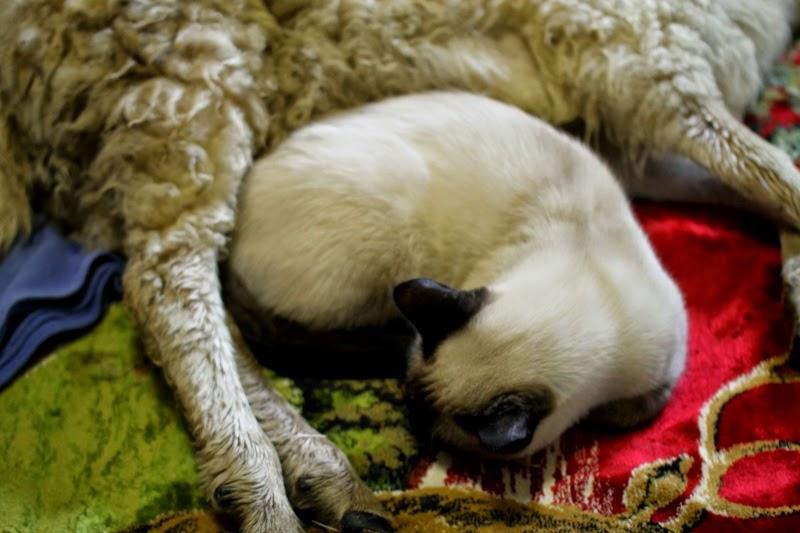 Karma cozies next to a sick lamb
