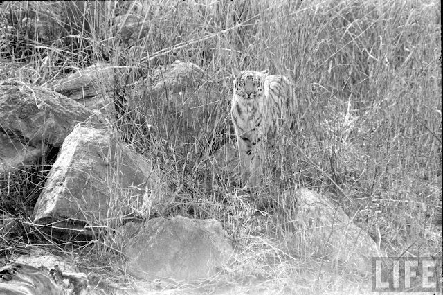 Tiger+Hunting+Photographs+of+India+-+1965+%252817%2529