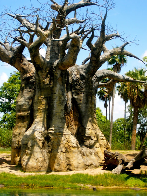 Baobab tree in Animal Kingdom, Disney World, Florida