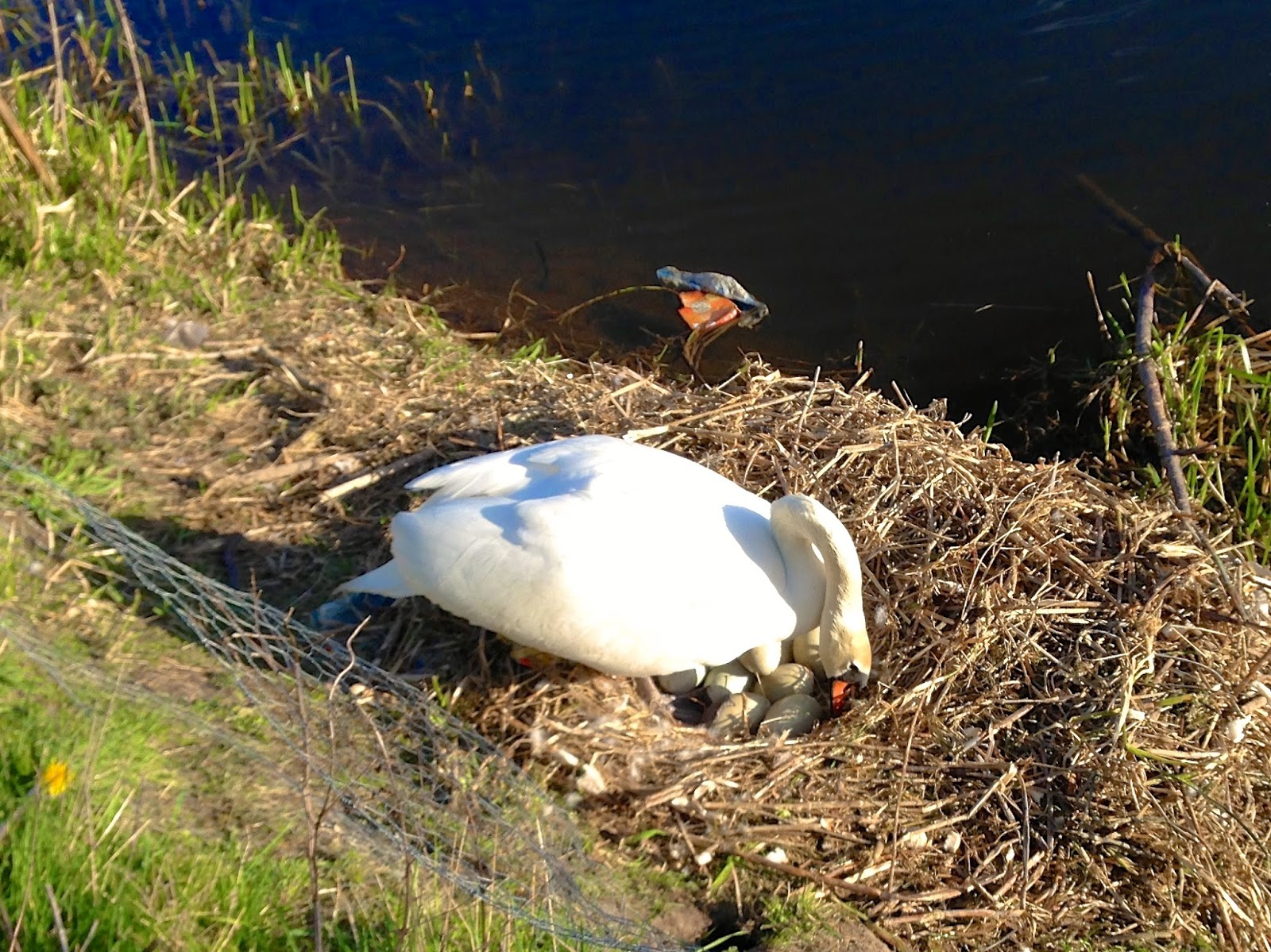 Mute swan on the Forth & Clyde canal