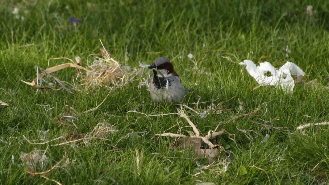 male house sparrow assesses damage