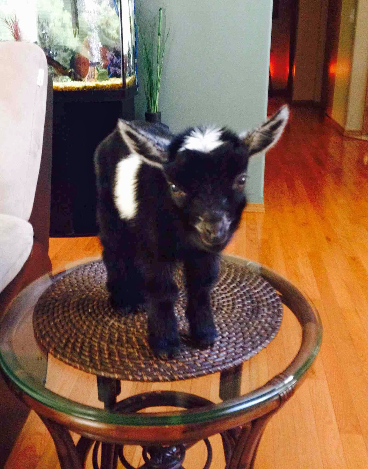 Funny animals of the week - 7 February 2014 (40 pics), baby goat stands on table