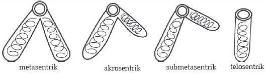 Pengertian, Struktur dan Bagian-bagian Kromosom