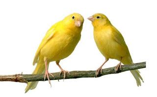 Foto Burung Kenari Emas Jantan Betina