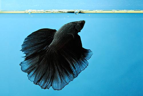 All about betta fish: black betta halfmoon