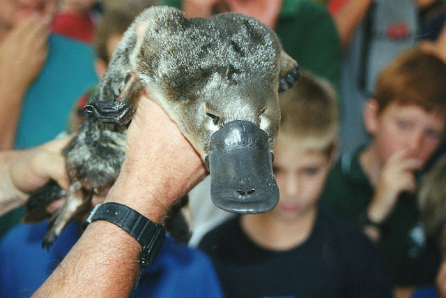 platypus, the egg-laying mammal