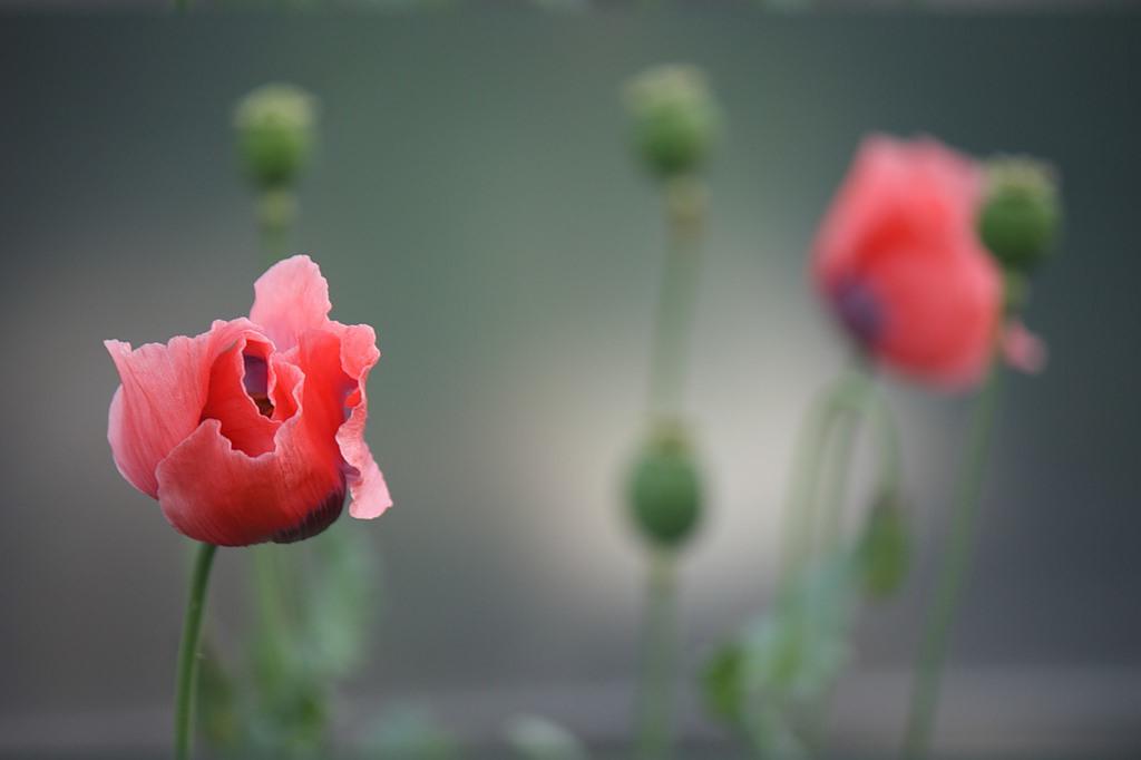 Ножницы должны иметь острые и плотно сомкнутые концы.  190x127 крестов * 70 цветов * Теги: цветок, растение, мак...