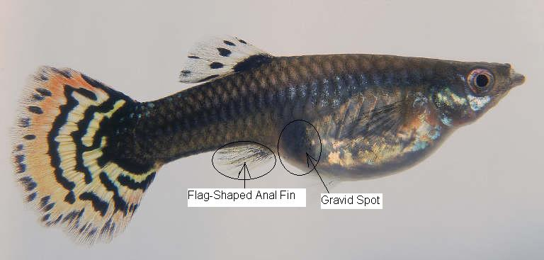 Universal tropical fish guide breeding guppys for for How long is a guppy fish pregnant