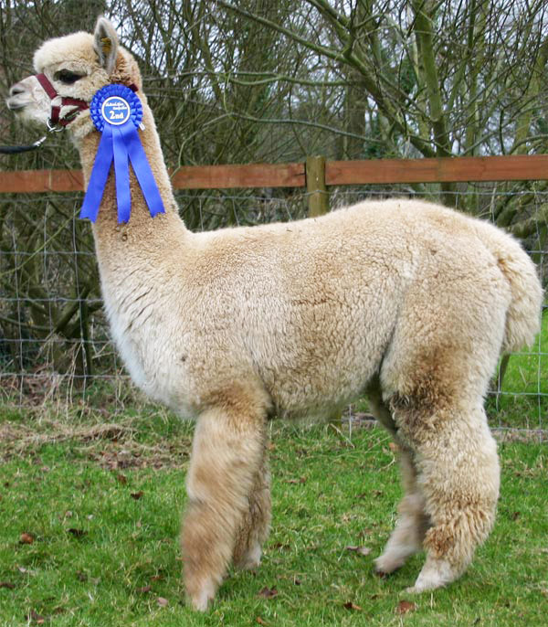 The Alpaca | Cute Animal Basic Facts and Pictures