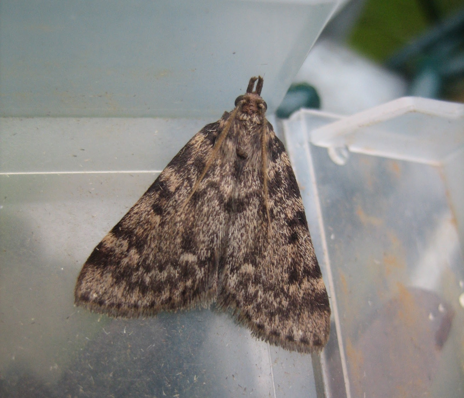 Friday  24 May 2013. Martin s Moths  May 2013