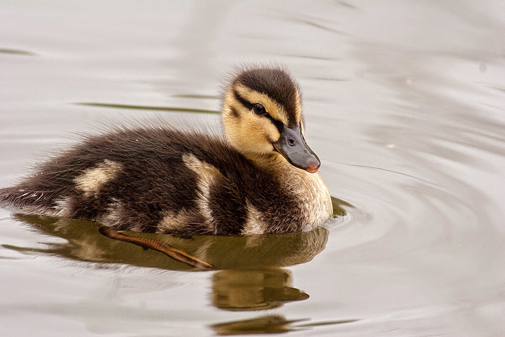 Mallard Duckling - Lodge Lake, Milton Keynes