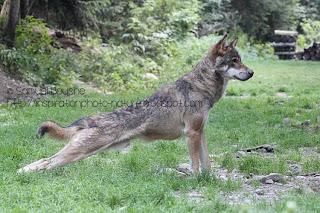 loup qui s'étire