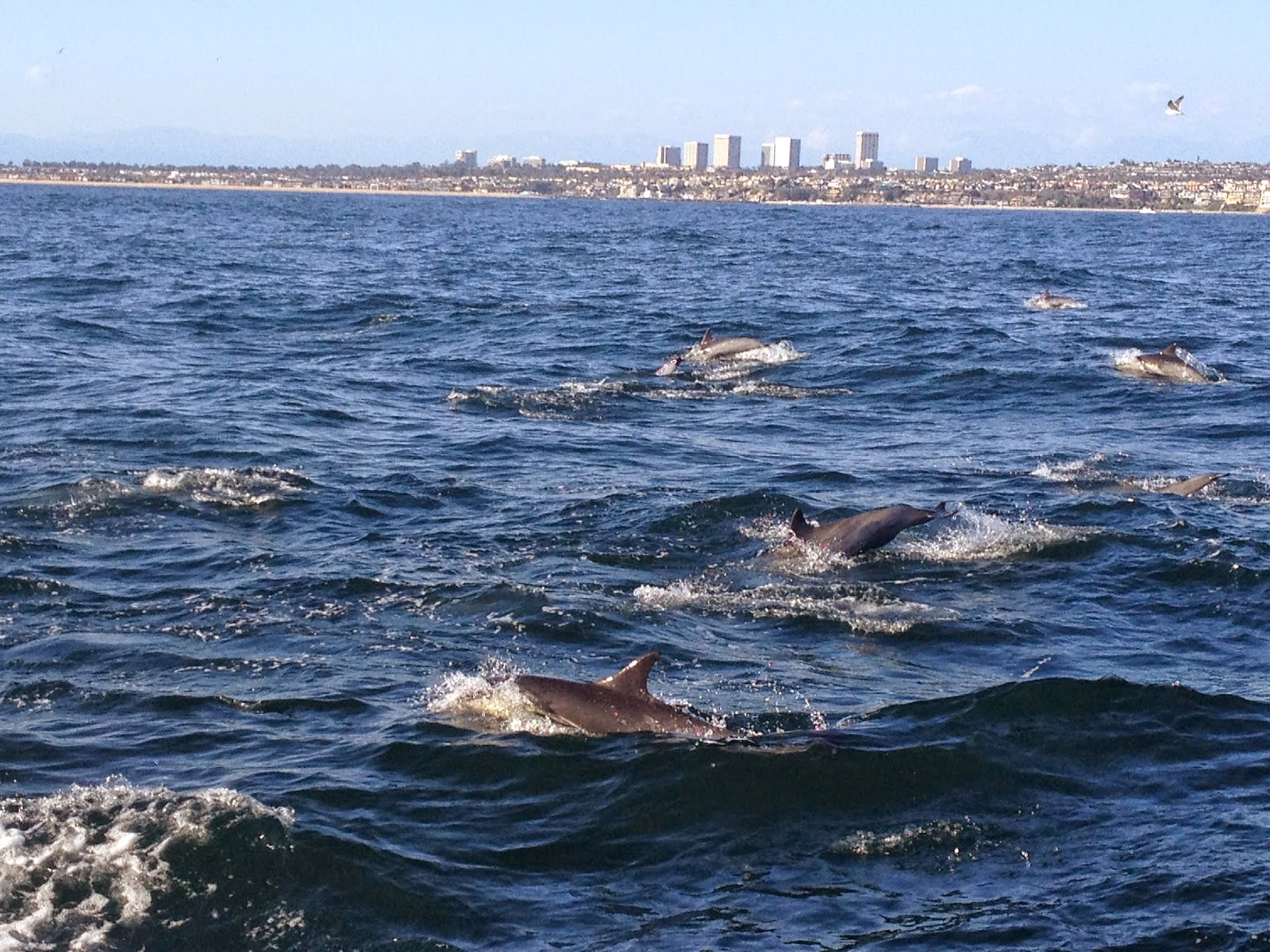 Wild Dolphins in Newport Beach, California