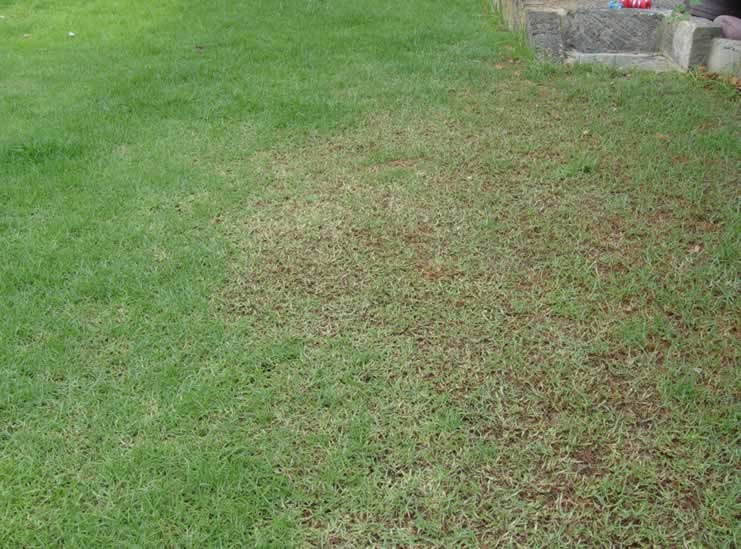 armyworms damage