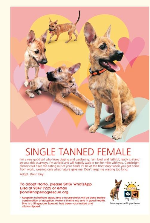 Dachshund Dog Adoption Singapore