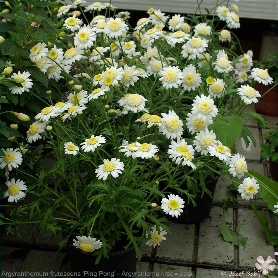 Argyranthemum frutescens 'Ping Pong' - Argyrantema krzewiasta