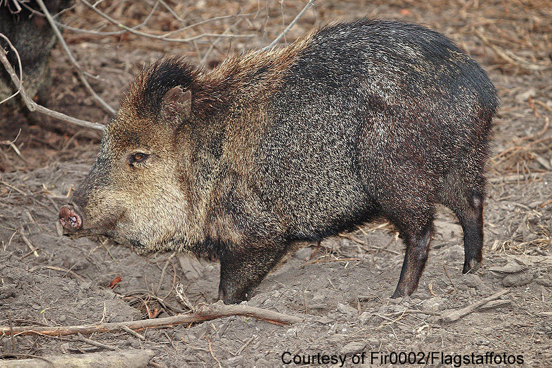 A Javelina Is Much Smaller Than A Wild Pig And Is A Regulated Game Animal
