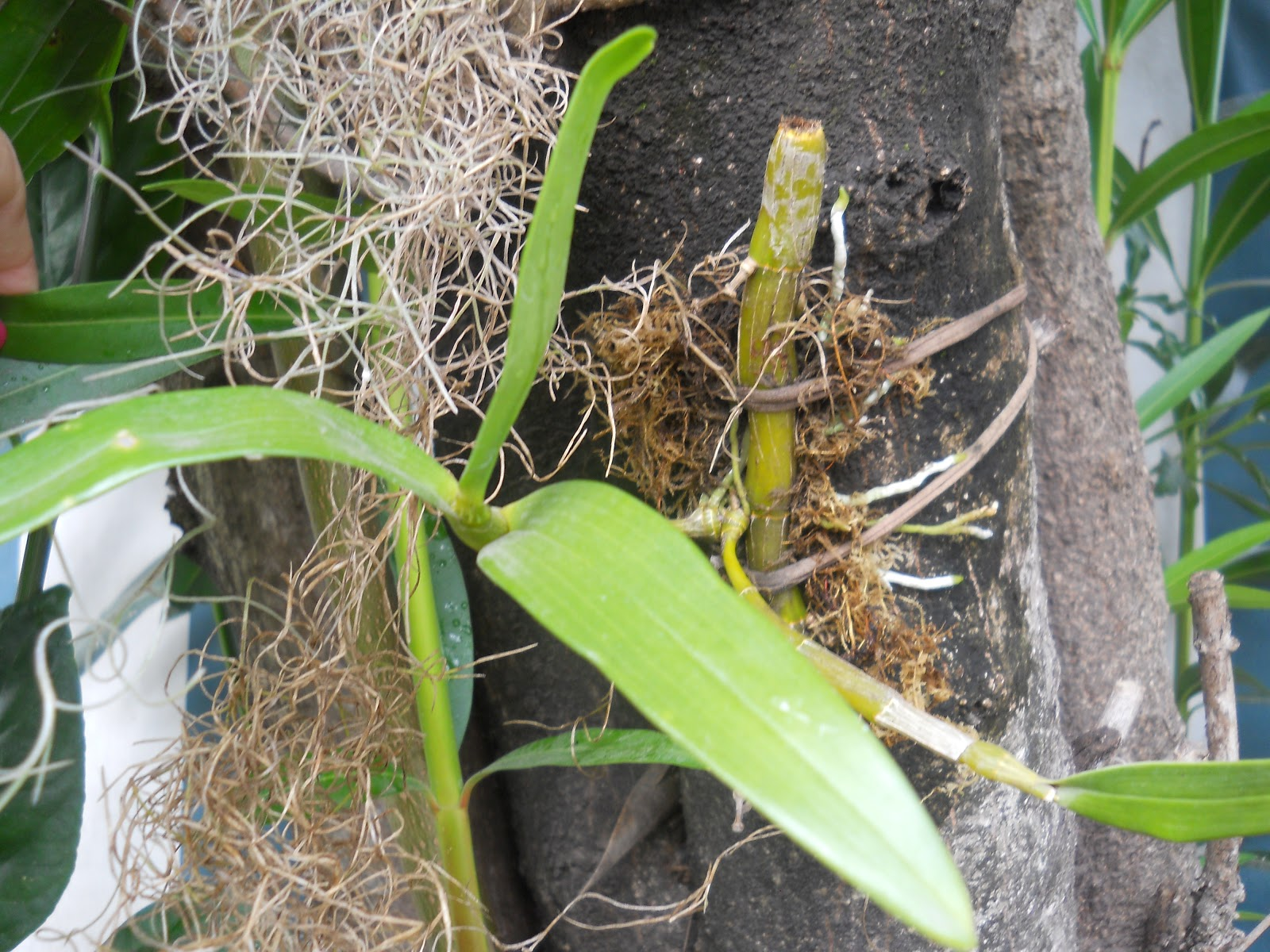 Mi jard n dendrobium en tronco de laurel de jard n - Laurel de jardin ...