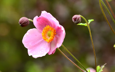 anemone japonica pink flower buds