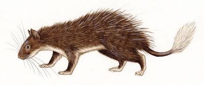 Puerco espín cola de pincel Atherurus macrourus