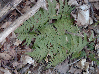 [Photo: mystery fern]