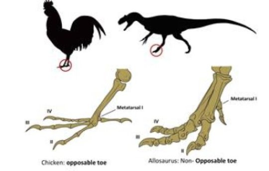 evolution an examination of the relation of dinosaurs and birds The scientific question of within which larger group of animals birds evolved, has traditionally been called the origin of birds the present scientific consensus is that birds are a group of theropod dinosaurs that originated during the mesozoic era.