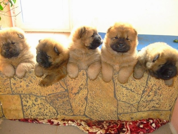 Cute Chow Chow Puppies Looking Beautiful