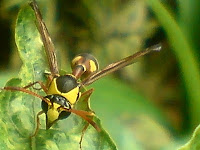 wasp yellow jacket