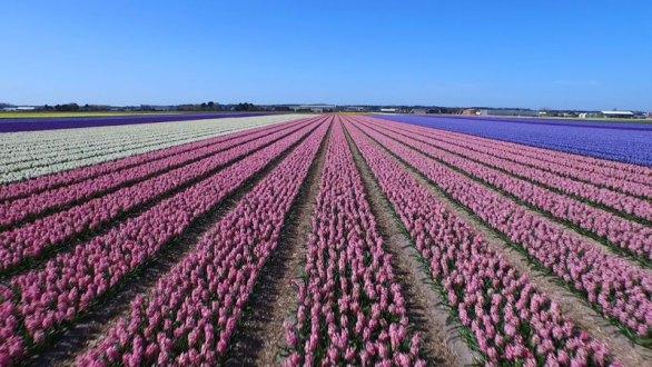 Avión no tripulado te llevará de tour por los impresionante campos de flores holandeses