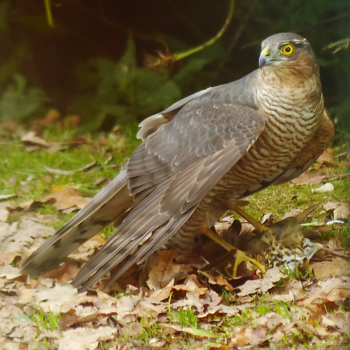 Female Sparrowhawk on Song Thrush