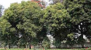 pohon tanjung Tanaman Penolak Santet
