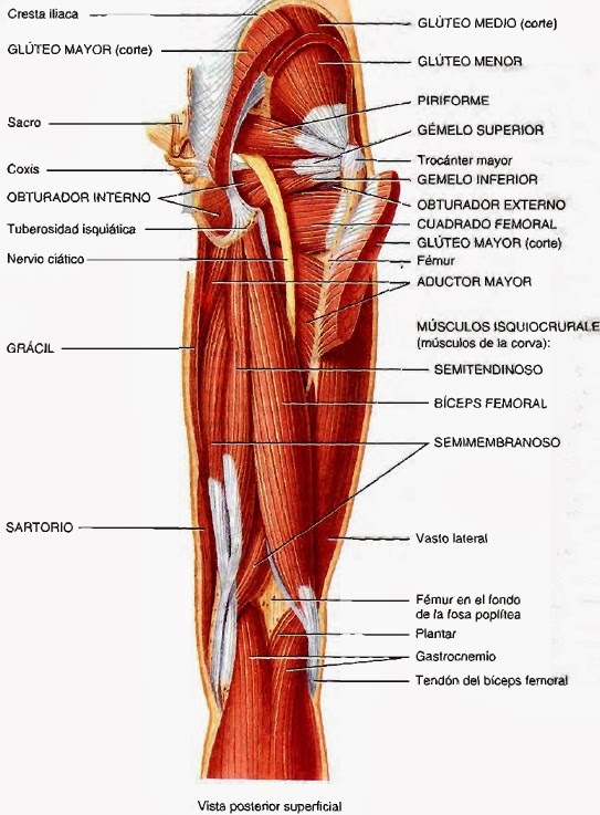 Musculos del miembro inferior del cuerpo humano - Imagui