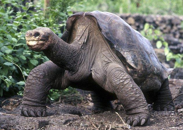 Mondo dei rettili lonesome george l 39 ultima tartaruga gigante - Pagine di colorazione tartaruga ...