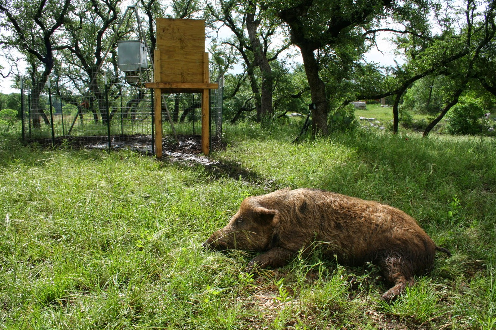 d i y game feeder corral trap for wild pigs wild wonderings
